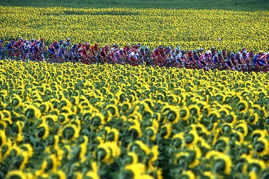 Sunflowers, Tour de France, by Graham Watson